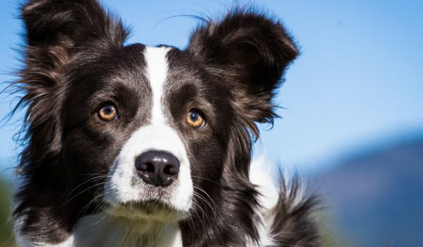 Неизвестни отровиха кучето-водач на незрящ мъж от София. Четириногото било