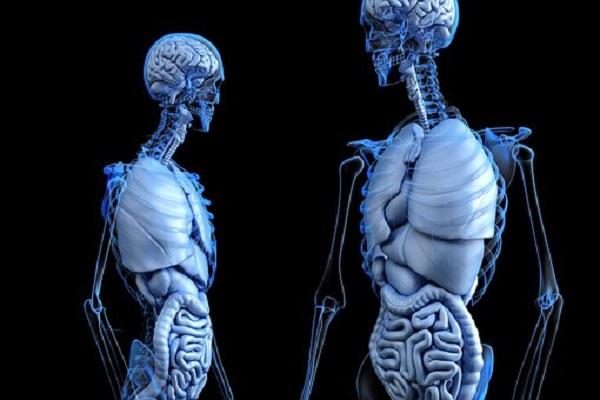 anatomical-2261006__340.jpg