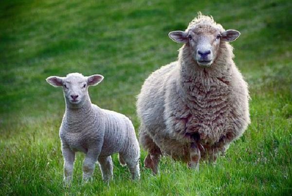sheep-2641172__340.jpg